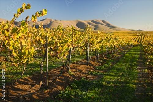 Vineyard in Santa Maria California Wallpaper Mural