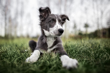 Cute Border Collie Puppy Lying...