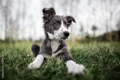 Canvastavla cute border collie puppy lying down on grass