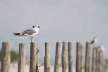 Seagull On Fence Close Up