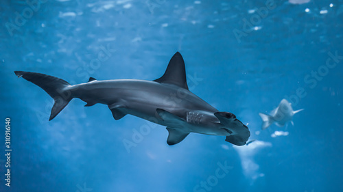 Obraz hammerhead shark wallpaper  - fototapety do salonu