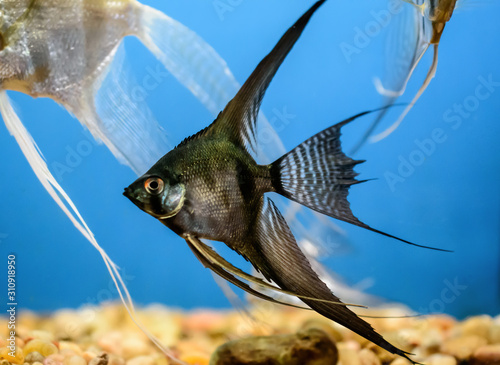 Photo Black Angelfish in an aquarium