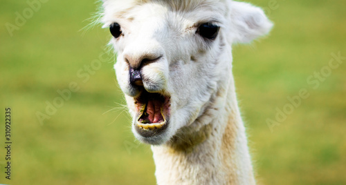 Alpaca bleating with funny face Canvas Print