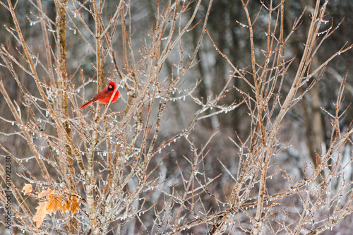 Fotografie, Tablou Cardinal Perched in an Icy Tree