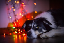My Boy Border Collie On Christmas Photo With Red And Gold Lights.