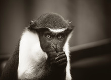 Diana Monkey, Cercopithecus Diana, Scream, Crescent-shaped Browband, Ruff And Beard. Wildlife Animals. Portrait