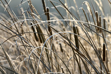 Dry Cattail, Reed, In The Wint...
