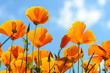 California poppies against bright blue sky