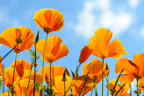 California poppies against bright blue sky - 310937317