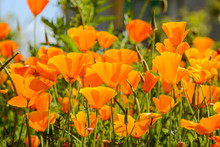 California Poppies Grouped In A Field