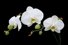 White Phalaenopsis Orchid With...