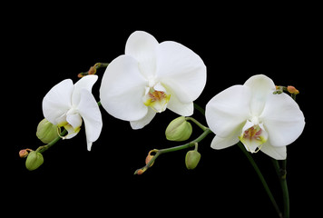 Fototapeta na wymiar White phalaenopsis orchid with buds isolated on black background