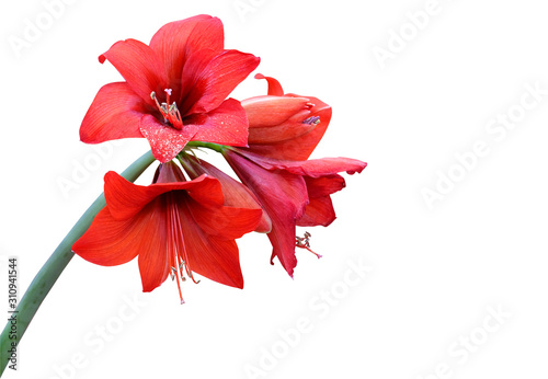 Red amaryllis flowers isolated on white background. Canvas Print