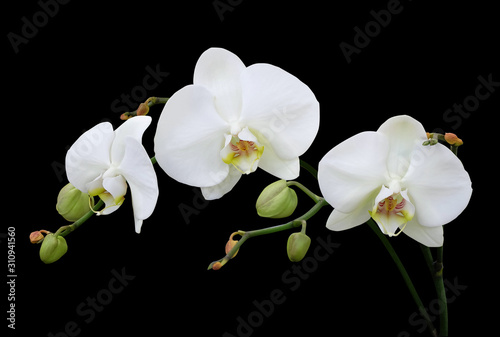 Fotomural White phalaenopsis orchid with buds isolated on black background