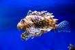 canvas print picture - Zebra lionfish, Red lionfish, on a blue background. Marine life, exotic fish, subtropics.