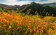 "MARCH 15, 2019 - LAKE ELSINORE, CA, USA - ""Super Bloom"" California Poppies In Walker Canyon Outside Of Lake Elsinore, Riverside County, CA"
