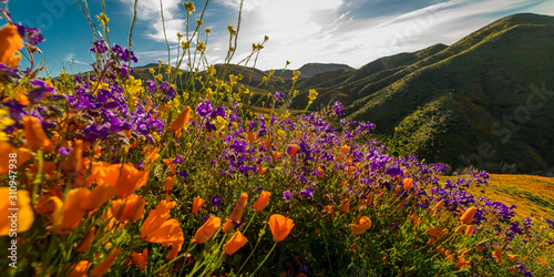 MARCH 15, 2019 - LAKE ELSINORE, CA, USA - Super Bloom California Poppies in Wa Wallpaper Mural