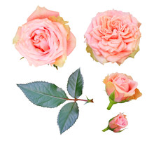Set Of Pale Pink Tea Roses Wit...