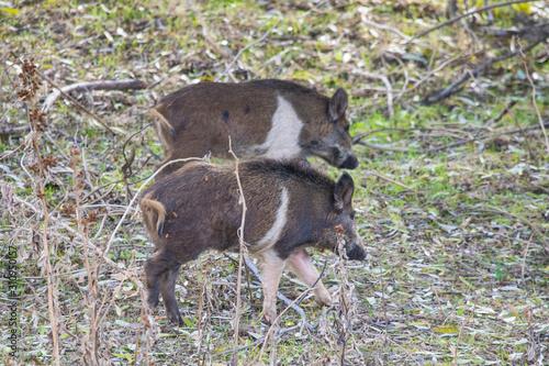 Photo Pair of Wild Boars feeding on grass