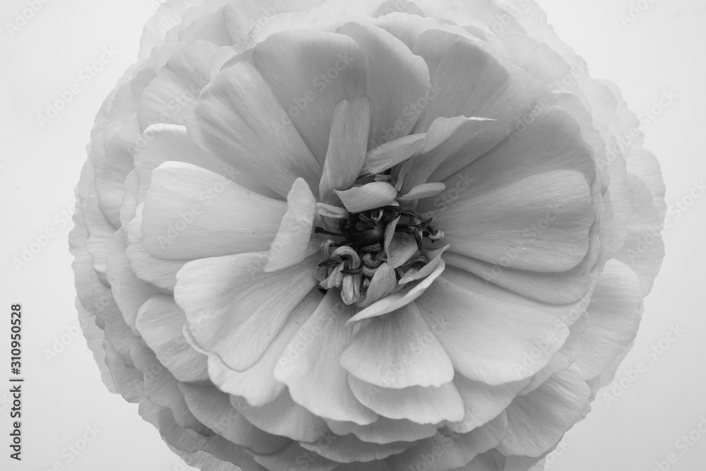 Fototapeta シャクヤク 芍薬 花 ピンク クローズアップ 一輪 白バック 白背景 白黒 モノクロ