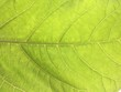 Green Light Leaf Nature Fresh Morning Background from Tropical Country