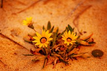Closeup Shot Of Two Bright Yellow African Daisies On A Sandy Seashore During Sunrise