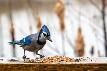 Wet Blue Jay Inspects Bird See...