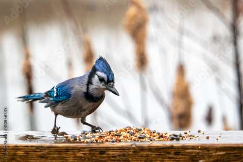 Wet Blue Jay Inspects Bird Seed Scattered on Wood Canvas Print