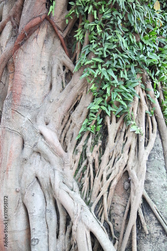 banyan tree trunk with heart leaves Wallpaper Mural