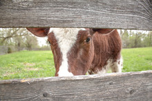 Close Up Cow Behind Fence