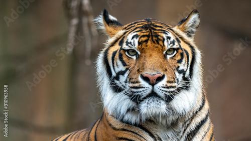 Naklejki tygrys   tygrys-sumatrzanski-headshot-patrzac-w-kierunku-kamery