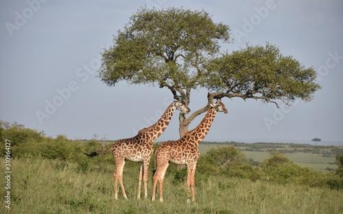 Photo Two Giraffes Under Tree in Profile, Wide View, Masai Mara, Kenya