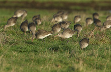 A Flock Of Stunning Godwit Fee...