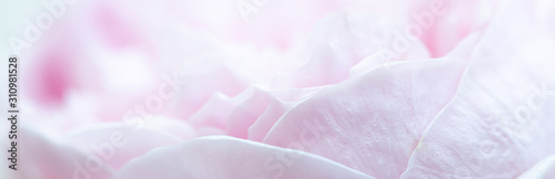 Pink roses soft focus in pastel colors for banner for website, Valentine's day card,Wedding card background