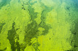 canvas print picture - green algae on the surface of the water. flowering water as background or texture