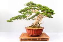 Chinese Pine Bonsai Tree Isolated On White Background.