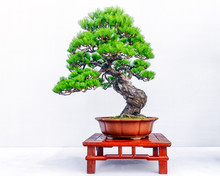 Chinese Pine Bonsai Tree Isola...