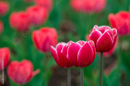 Fotografie, Obraz  Beautiful colorful red  tulip background photo.