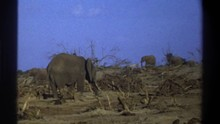 SOUTH AFRICA MICHIGAN-1969: A Small Herd Of Elephants Walking Through Grassland With A Lot Of Dead Trees