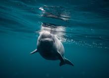 Baby Beluga Newfoundland Canada