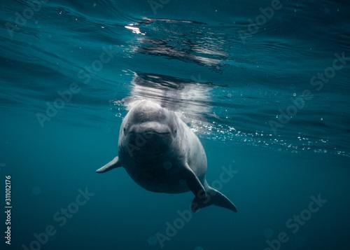 Foto Baby Beluga Newfoundland Canada