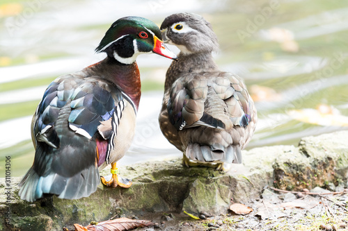 Mother Wood Duck with her son in a city pond Wallpaper Mural
