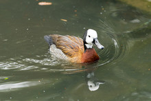 White Faced Whistling Duck Loo...