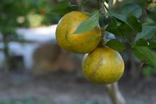 Organic Orange Gardening