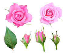 Pink Roses With Buds And Leaf Isolated On A White Background, Floral Set.