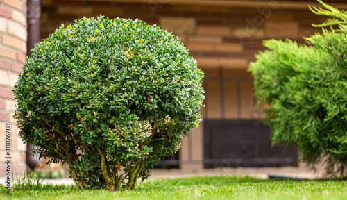 Leinwand Poster Round boxwood bush on the lawn