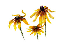 Three Yellow Rudbeckia Garden Flowers Watercolor Painting
