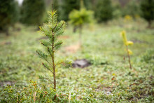 Close Up On A Sapling At A Chr...