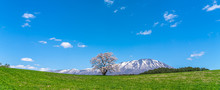 Lonesome Cherry Blossom In Springtime Sunny Day Morning And Clear Blue Sky. One Lonely Pink Tree Standing On Green Grassland With Snow Capped Mountains Range In Background, Beauty Rural Natural Scene