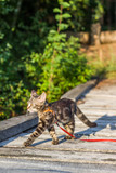 kot spacerujący, wolny kot